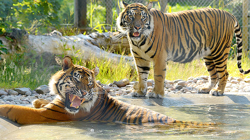 Drayton Manor Sumatran Tigers photo with a small pool and the tiger enclosure